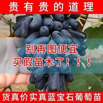 藍寶石葡萄苗 甜蜜藍寶石 優質無核 包活包郵 基地直發 提供種植管理技術