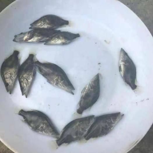 广东省江门市台山市斑鳜 人工养殖 0.8斤以下