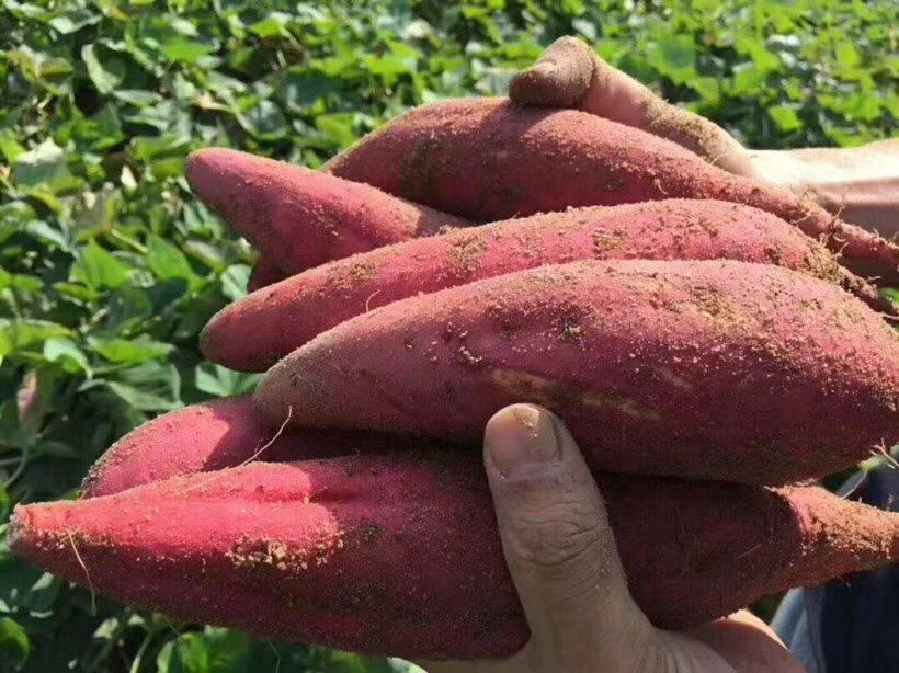[蜜薯批发]正宗西瓜红沙地红心地瓜红蜜薯非北京红非英哥价格9.9元/箱