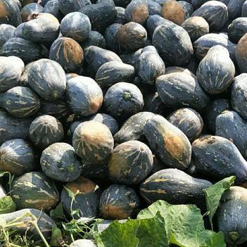 八百亩香芋南瓜摘二批瓜开始上市