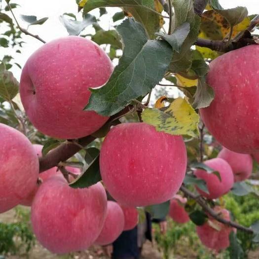 四川省涼山彝族自治州喜德縣 紅將軍蘋果 紅富士蘋果 金帥蘋果