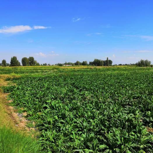 甘肅省張掖市民樂縣 甘肅省張掖市民樂縣菊苣種植基地