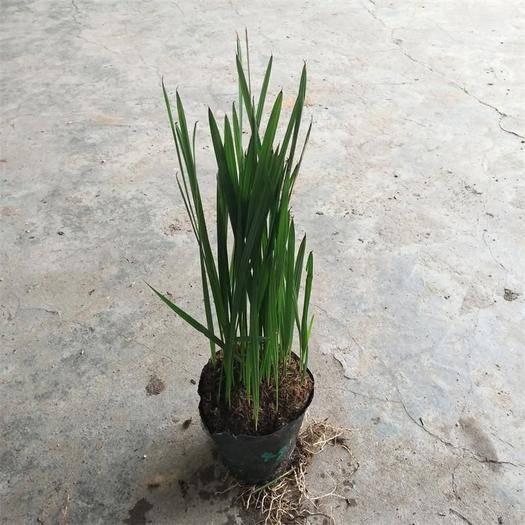 广东省广州市荔湾区 加拿利海枣苗 棕榈科观叶植物 园林绿化树
