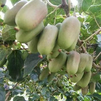 軟棗獼猴桃苗 紅哈迪,魁綠,龍城2號,恒優等品種嫁接2年苗