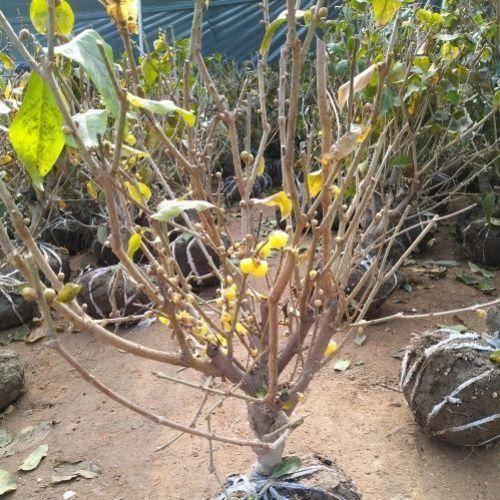 山東省臨沂市平邑縣 臘梅    臘梅花    臘梅樹   嫁接成品臘梅樹