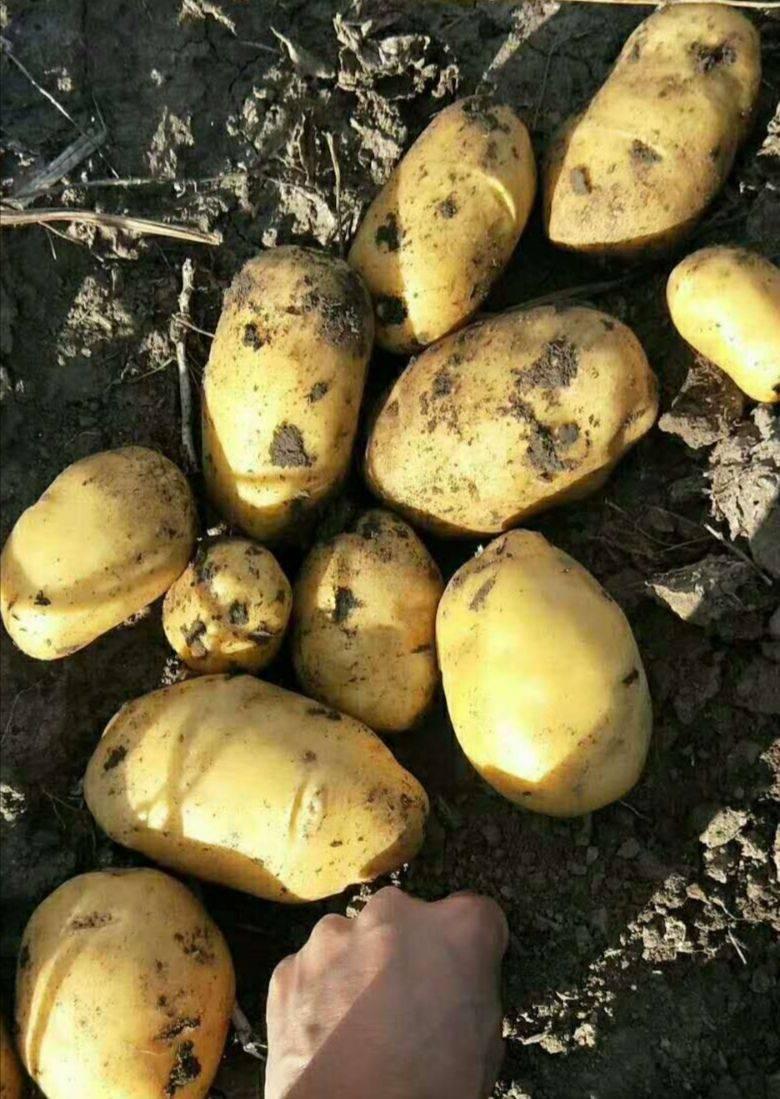 [尤金885土豆批发]尤金885土豆 精品尤金885大量供应价格0.5元/斤