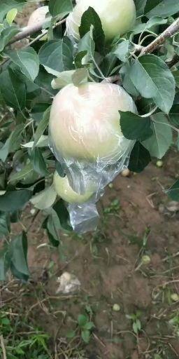 山東省聊城市冠縣 早富士蘋果大量上市啦!