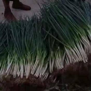 四季蔥,白長,葉翠綠,現貨供應,干畝基地。
