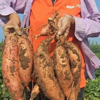紅薯 【龍薯/煙薯】小薯15元10斤包郵搶 現挖新鮮薯