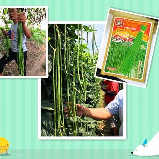 河南省郑州市金水区 高产翠绿条豆角种子天下无双无鼠尾不鼓籽长70到80公
