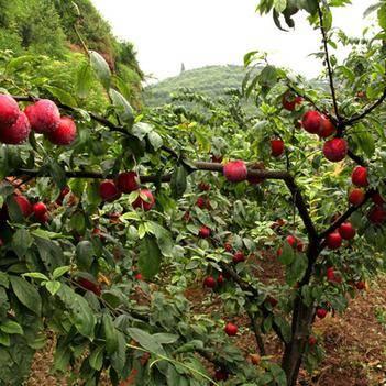 現摘陜西紅玫瑰冰糖李李子水果新鮮應季水果孕婦非黑布林