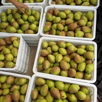 红香酥梨 65mm以上 250-300g