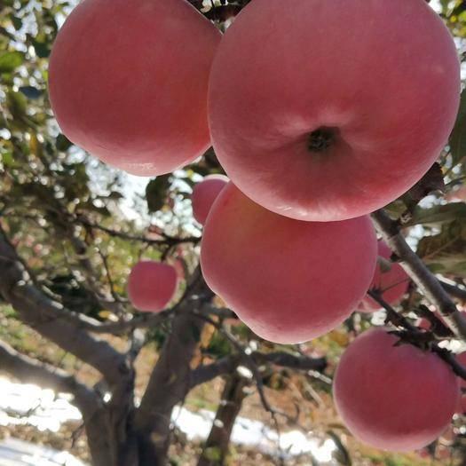 甘肅省慶陽市寧縣 甘肅慶陽的蘋果上市了