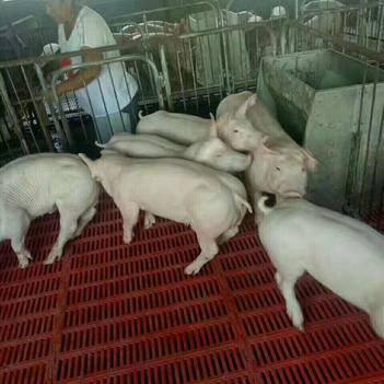 二元猪 20-25斤