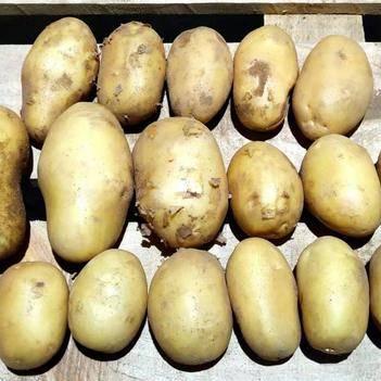 内蒙新货中加二号沙漠土豆