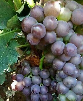 纸袋巨峰葡萄还没有占药的,个粒饱满,甜大量上市中还是头茬