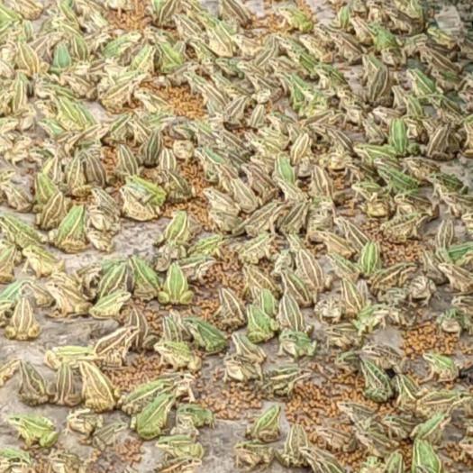 安徽省阜阳市颍上县青蛙 大量出货有需要的联系