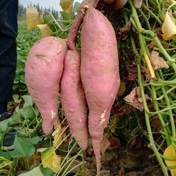 黄心红薯 红皮黄瓤来自宁夏的问候