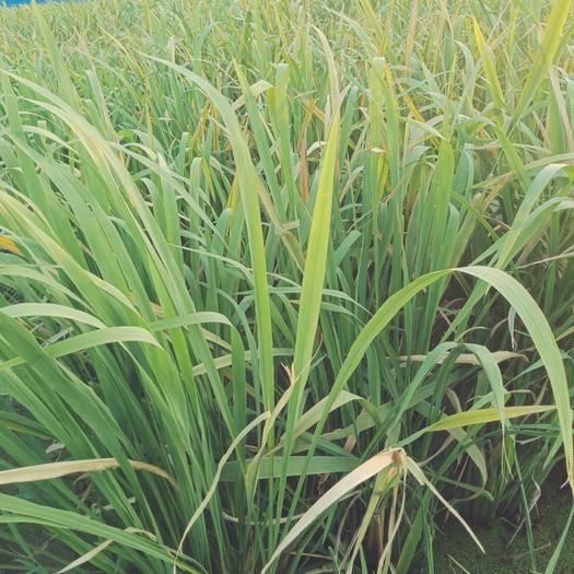 安徽省淮南市潘集区双季茭白 19年8月31日二茬秋茭正在采收中,优质双季品种,种苗出售!