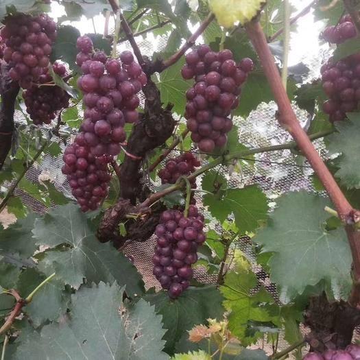 河北省保定市满城区 保定满城县南韩村镇大量巨峰葡萄