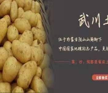 內蒙古高原武川縣226土豆