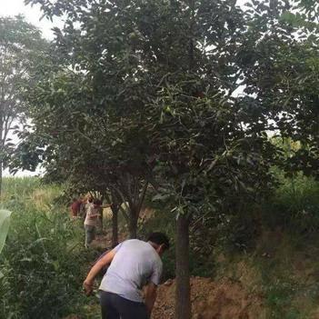 柿子树接穗 沭阳大柿子树基地大量现货销售中,价格优惠