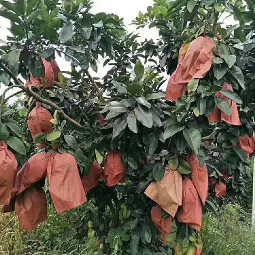 广东省梅州市梅县区 花皮蜜柚
