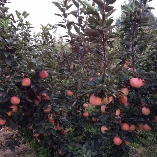 山東省濟寧市曲阜市紅香蕉蘋果 75mm以上 片紅 膜袋