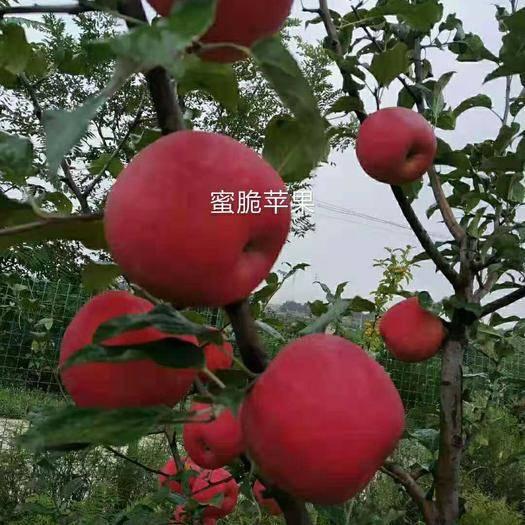 甘肅省慶陽市慶城縣 蘋果大量出售