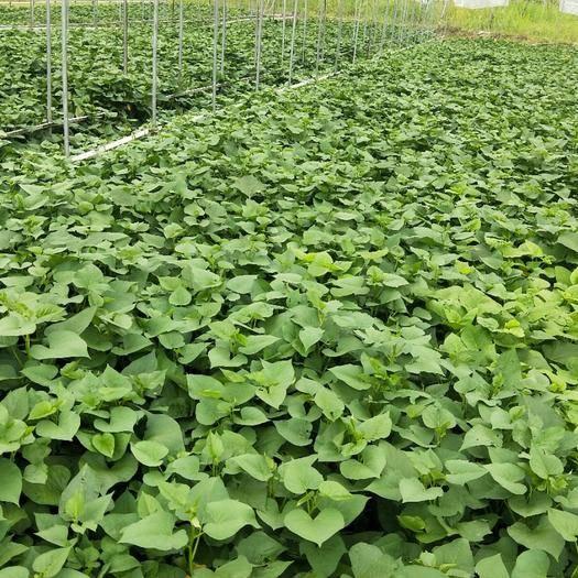 廣東省清遠市連州市紅薯葉 無公害有機肥種植地區海拔高溫差大種植時間長,菜味濃無渣清甜。