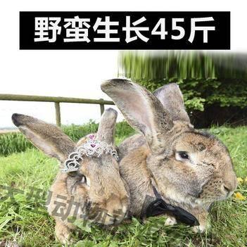 獺兔種兔 2019新品德國巨型兔養到45斤純種大型野兔包郵包活到家
