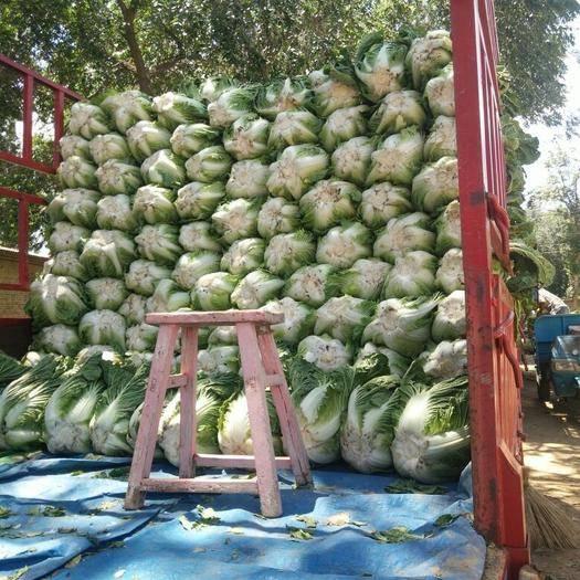 陜西省榆林市靖邊縣盛秋大白菜 6~10斤 二毛菜