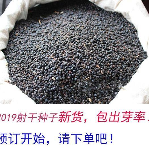 陜西省安康市嵐皋縣 射干種子 成熟射干種子 黑亮射干種子 耐旱射干種子