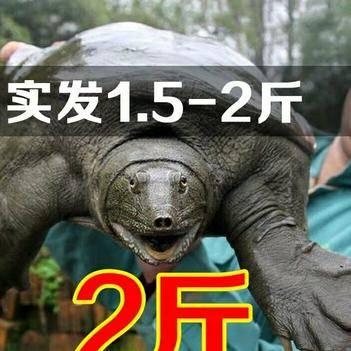 1.5-2斤大甲魚38元包郵包活運到