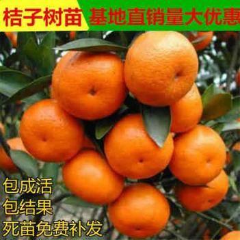 沙糖桔苗 沙糖桔 桔子苗当年结果 带叶发货橘子树苗包成活包邮