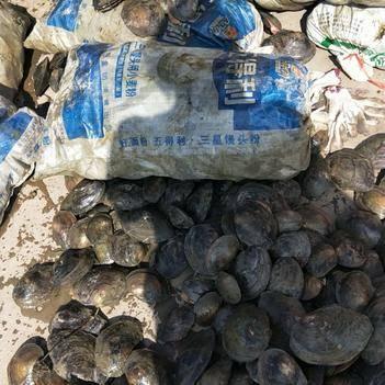 新鲜淡水河蚌野生60一袋