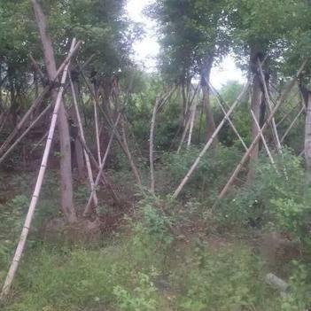 降香黄檀木