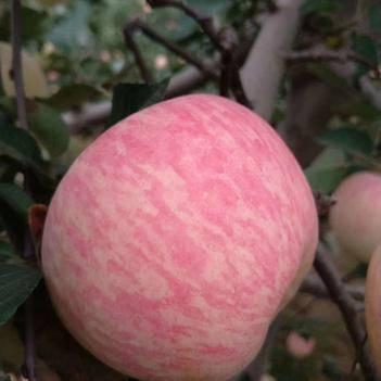 紅富士蘋果 地里現摘
