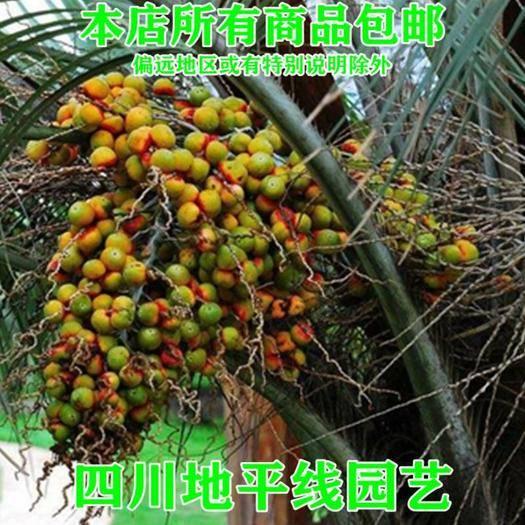 四川省南充市嘉陵区 加拿利海枣种子新种子包邮