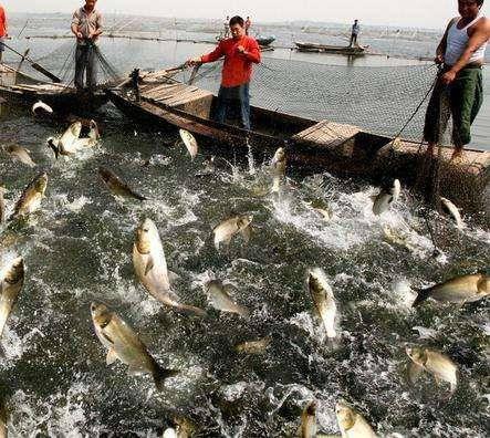 安徽省池州市东至县 鳜鱼 鳜鱼批发 标鳜1-3斤 家庭农场养殖 非饲料养殖