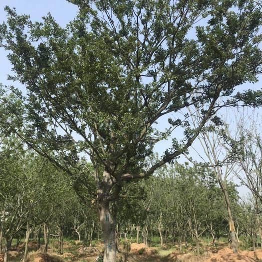 江苏省南京市六合区 朴树,丛生朴树,多头朴树,朴树价格,朴树规格,朴树基地