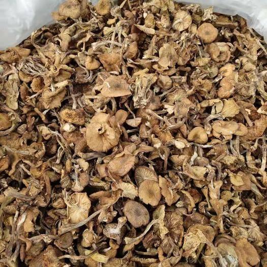 内蒙古自治区呼伦贝尔市海拉尔区 呼伦贝尔大草原  野生蘑菇