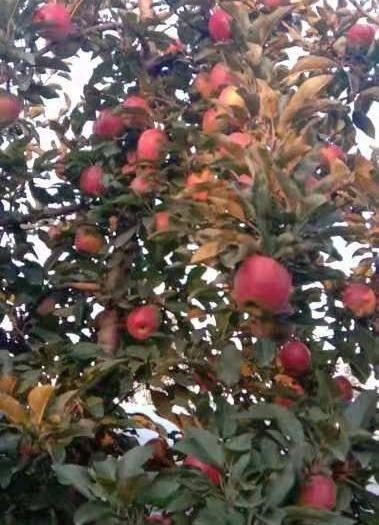 陜西省渭南市大荔縣 新鮮蘋果上市了