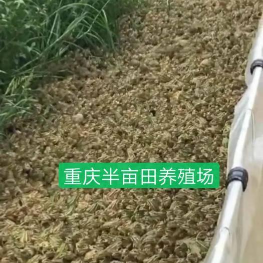 重庆市石柱土家族自治县青蛙苗 免费提供青蛙养殖技术