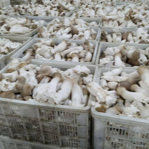 福建省漳州市南靖縣鮮杏鮑菇 鮮杏鮑菇 特級 3cm~4cm