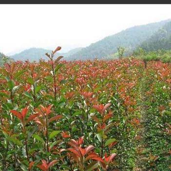 紅葉石楠苗工程苗家用苗