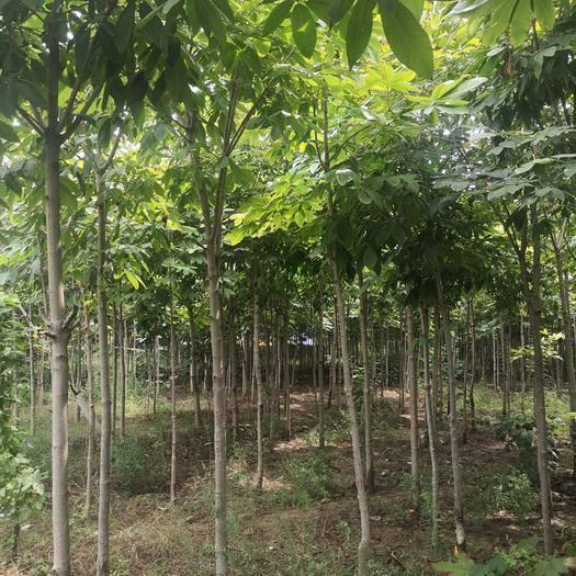 陜西省西安市高陵區 大面積七葉樹