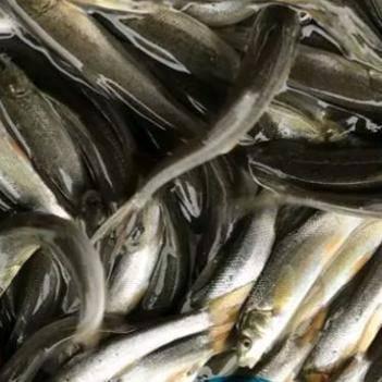 华鲮 银鳕鱼鱼苗,淡水大鳞鲃鱼苗,5~10cm,品质好,成活高