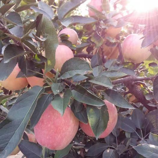 山東省濟寧市曲阜市 山東曲阜紅香蕉蘋果上市啦。