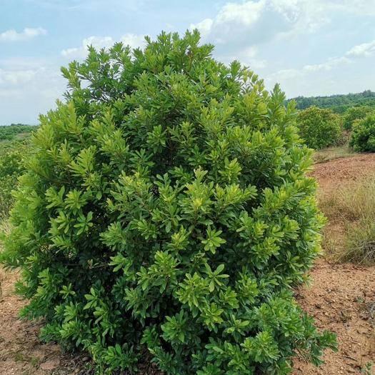 江西省九江市柴桑區 精品落地冠楊梅樹蓬徑2-3米,樹形優美,無病蟲害根系發達。